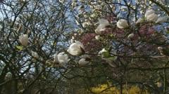 Pan right + hold magnolia x loebneri kache merrill Stock Footage