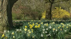 Daffodils in park, forsythia in background Stock Footage