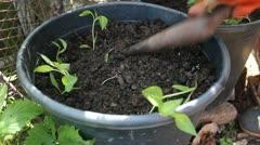 Planting Pepper Seedling Stock Footage