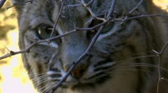 Bobcat Hides Behind Thorns Stock Footage