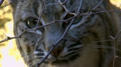 Bobcat Hides Behind Thorns - stock footage
