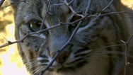 Bobcat Hides Behind Thorns Stock Footage