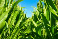 Stock Photo of in the middle of the corn plants