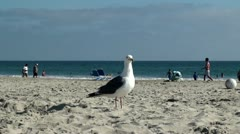 Large White-Headed Pacific Gull at Coronado beach. Stock Footage