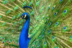 majestic peacock - stock photo