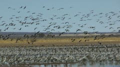 Birds Fly Over Flock - stock footage
