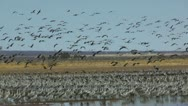 Stock Video Footage of Birds Fly Over Flock