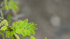 Green leaves of a Acacia decurrens Stock Footage