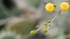 Branch of acacia decurrens.mp4 Stock Footage