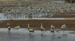 Sandhill Crane Wetlands Stock Footage