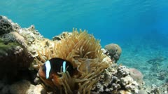 Anemone and Clownfish - stock footage