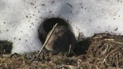 Field vole running towards a hole in the snow - stock footage