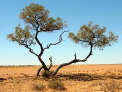 Outback desert tree Stock Photos