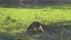 Fox digging for mice in a ditch Stock Footage