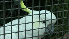 sulphur-crested Cockatoo climbing up his cage - stock footage