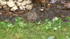 Young mountain hare moving over a lawn searching for food Stock Footage