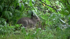 Young mountain hare sitting under lupine leaves Stock Footage