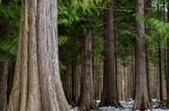 Big thuja trees Stock Photos
