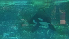 Killer Whale (Orca) Swimming in Captivity Going to Surface - stock footage