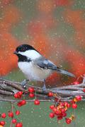 Stock Photo of chickadee on a branch