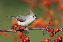 bird on a perch with cherries - stock photo