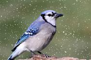 Stock Photo of blue jay in snow