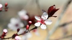 Flower plum tree - stock footage