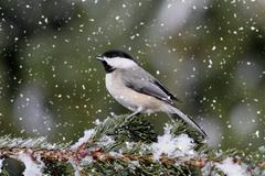 chickadee in a light snowfall - stock photo