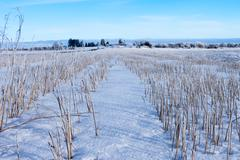 Harvested corn field under snow Stock Photos