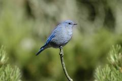 mountain bluebird - stock photo