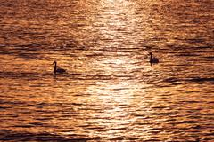 a couple of goose in sunset over the sea - stock photo