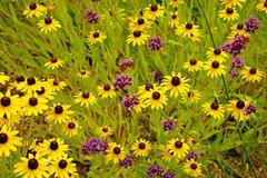 Yellow echinacea flowers Stock Photos
