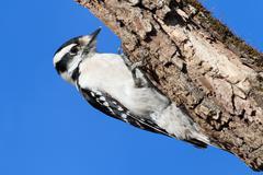 Female downy woodpecker (picoides pubescens) Stock Photos