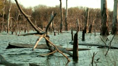A family of ducks swim through dead trees on a quiet lake. Stock Footage