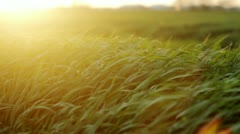 Green grass blows gently in the wind 5 - stock footage