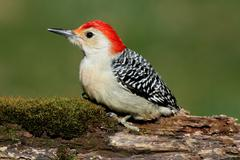 Woodpecker on a moss covered log Stock Photos