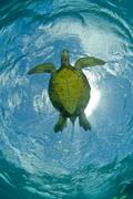 Green Sea Turtle from Underneath in Blue Water Stock Photos