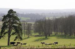 Rural landscape with cows Stock Photos