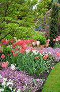 Pink tulip garden Stock Photos