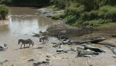 ZEBRA CROSS RIVER - stock footage