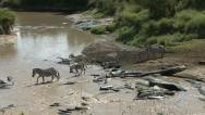 Stock Video Footage of ZEBRA CROSS RIVER