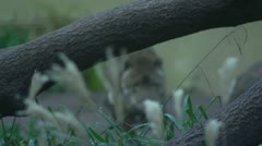 Jaguar coming into focus and walking though undergrowth - stock footage