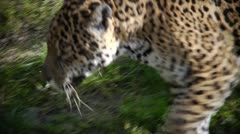 Panning shot with walking jaguar Stock Footage