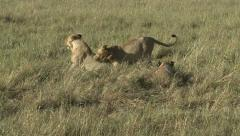 LIONS ROMP AND PLAY Stock Footage