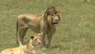 LION WITH INJURED EYE Stock Footage