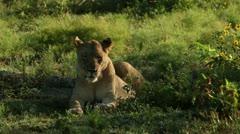 Sleepy lioness Stock Footage