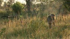 Zebra grazing - stock footage