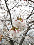 Macro of cherry blossom with blossoms in background Stock Photos