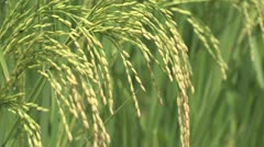 Burkina Faso: Closeup of Rice Before Harvest Stock Footage