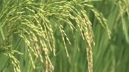 Stock Video Footage of Burkina Faso: Closeup of Rice Before Harvest